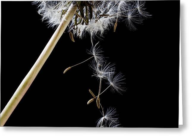 Dandelion loosing seeds Greeting Card by Garry Gay