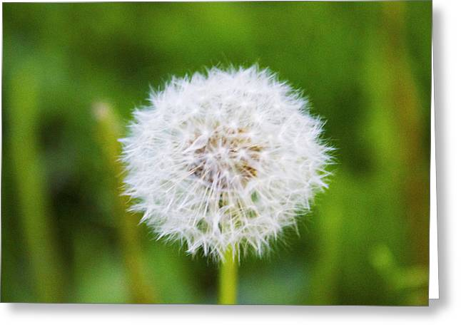 Wishes Greeting Cards - Dandelion Greeting Card by Maddie McDonald
