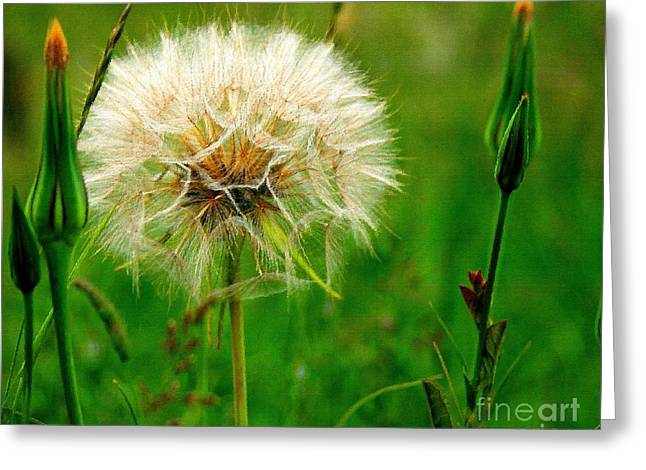 Shabbychic Greeting Cards - Dandelion Greeting Card by ShabbyChic fine art Photography