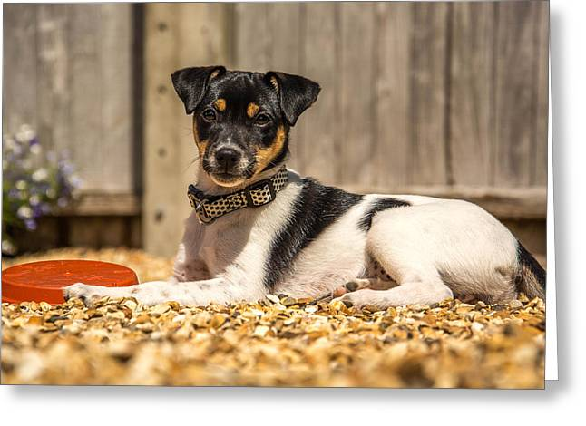 Puppies Photographs Greeting Cards - Daphne Greeting Card by Richard Simpson