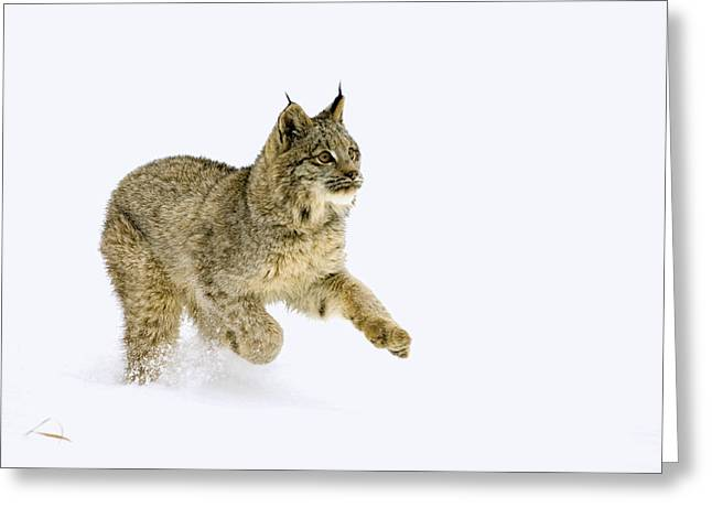 Canadian Lynx Greeting Cards - Dashing through the snow Greeting Card by Melody Watson