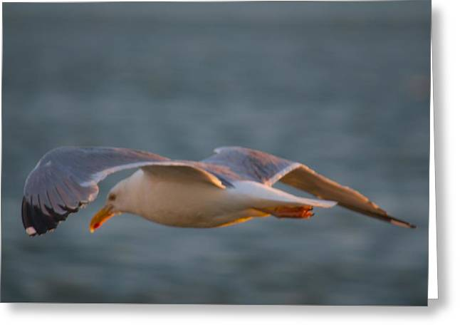 Flying Seagull Greeting Cards - Dawn Flight Greeting Card by Richard Dorr