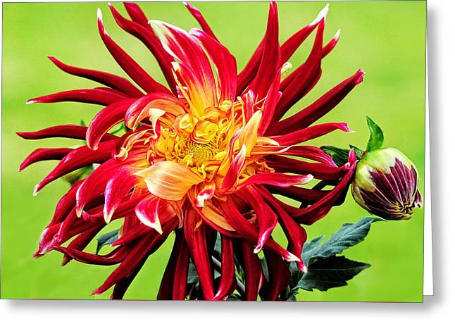 Dinner-plate Dahlia Greeting Cards - Dawn of the Dinner Plate Dahlia Greeting Card by Lynn Bauer