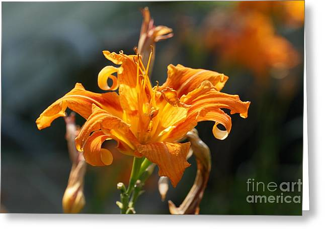 Day Lilly Greeting Cards - Day Lilly 1a 8815 1a Greeting Card by Henry Mills
