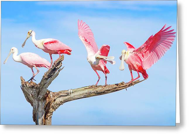 Day Of The Spoonbill  Greeting Card by Mark Andrew Thomas