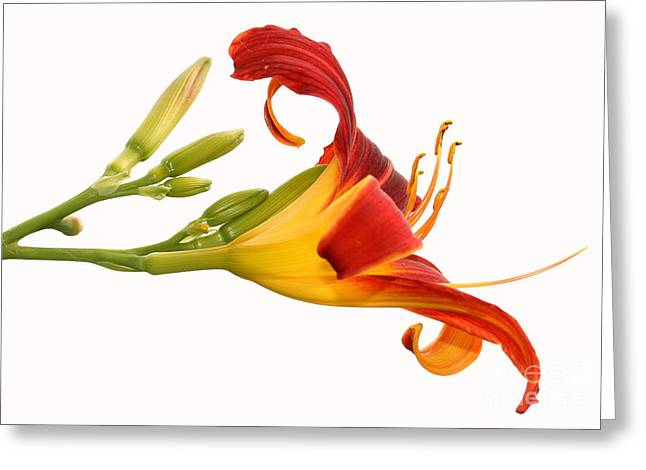 Steve Augustin Greeting Cards - Daylily  Greeting Card by Steve Augustin