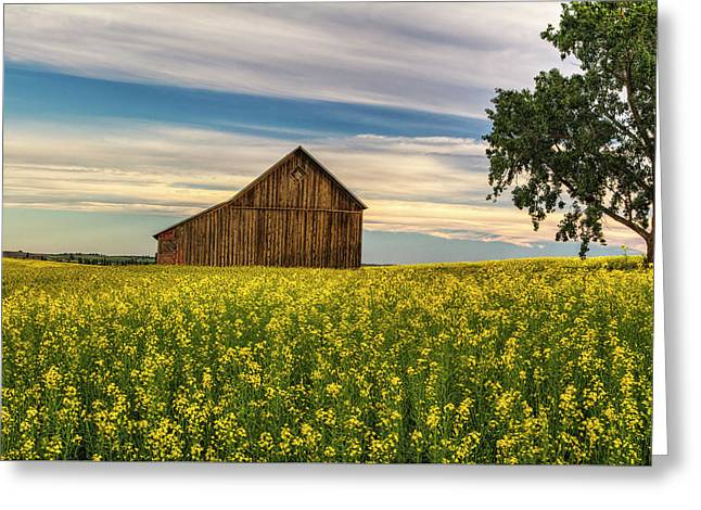 Dazzling Canola In Bloom Greeting Card by Mark Kiver