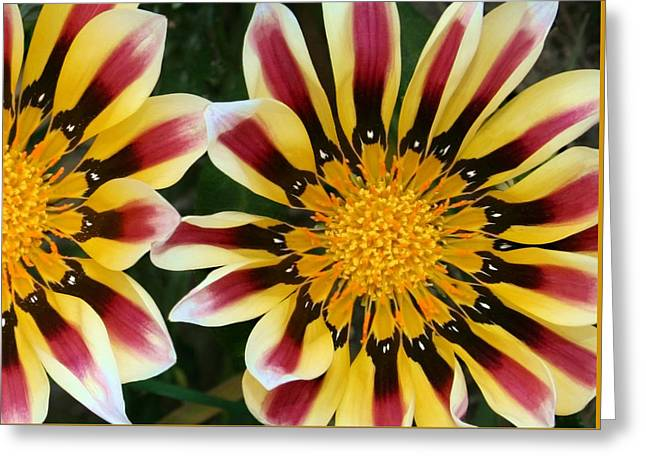 Dazzled Greeting Cards - Dazzling Gazania Greeting Card by Ellen Henneke