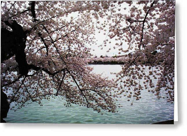 Northern Virginia Greeting Cards - DC Cherry Blossoms Greeting Card by Joyce Kimble Smith