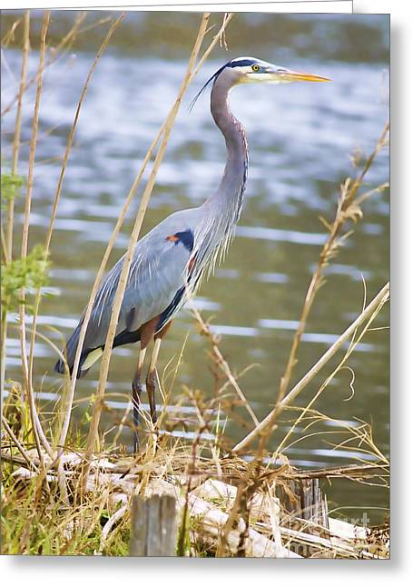 Florida Wildlife Greeting Cards - De Leon Springs Blue Greeting Card by Deborah Benoit