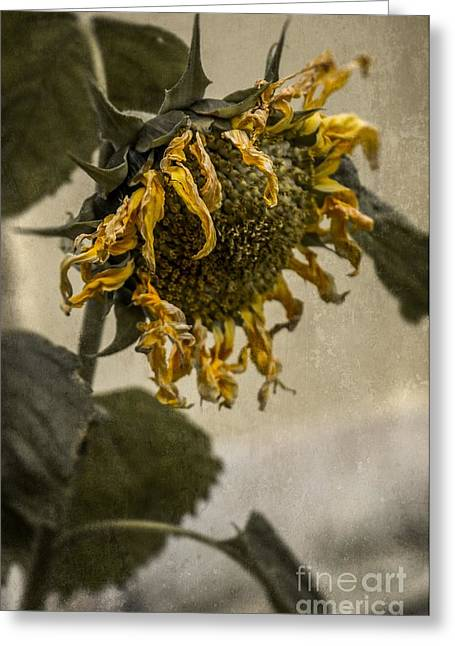 Drought Greeting Cards - Dead Sunflower Greeting Card by Carlos Caetano
