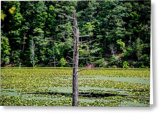 Alga Greeting Cards - Dead Tree in a Swamp Lake Greeting Card by Joshua Zaring