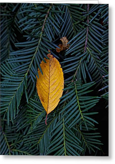 Pine Needles Greeting Cards - Deciduous and Evergreen Greeting Card by Robert Ullmann