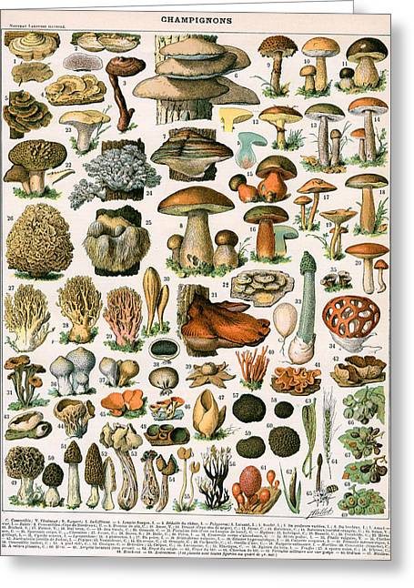 Mushrooms Greeting Cards - Decorative Print of Champignons by Demoulin Greeting Card by American School