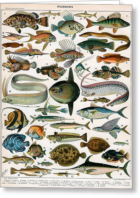 Biology Drawings Greeting Cards - Decorative Print of Poissons by Demoulin Greeting Card by American School