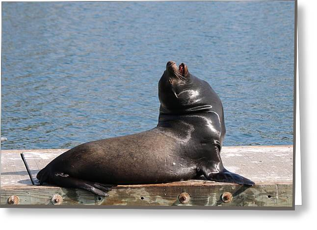 California Sea Lions Greeting Cards - Deep Breath  Greeting Card by Christy Pooschke