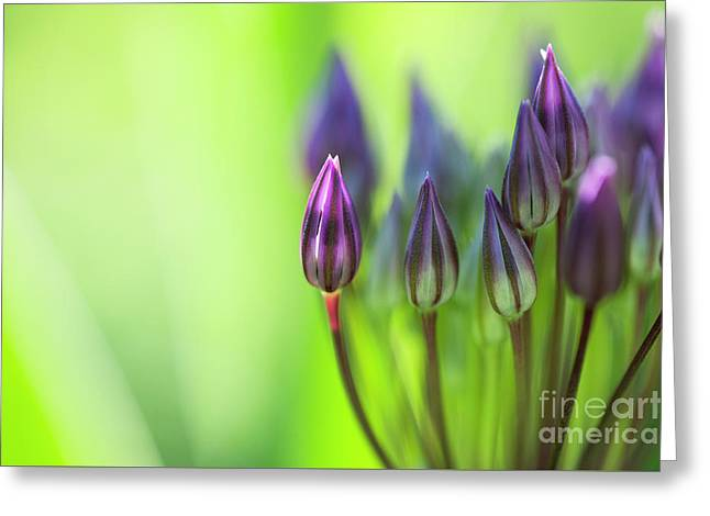 Delicate Allium Flower Buds Greeting Card by Tim Gainey
