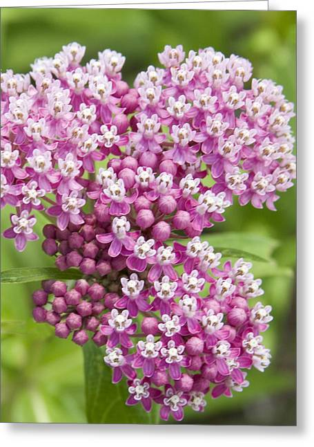 Tiny Whites Greeting Cards - Delicate Buds And Flowers Greeting Card by Elvira Butler