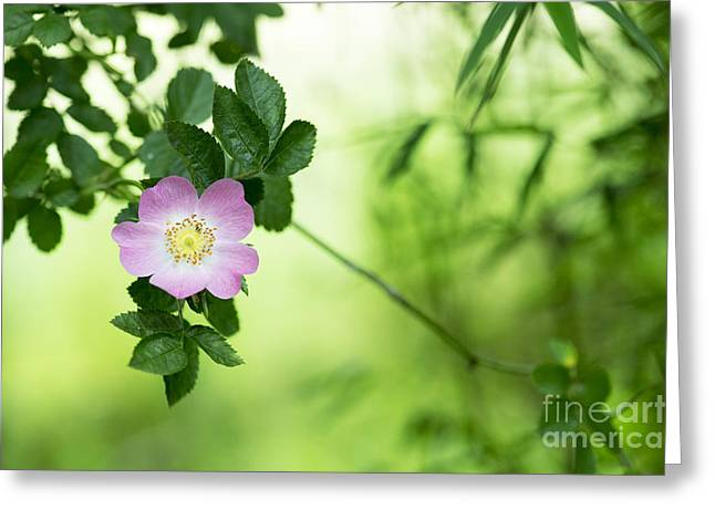 Delicate Dog Rose Greeting Card by Tim Gainey