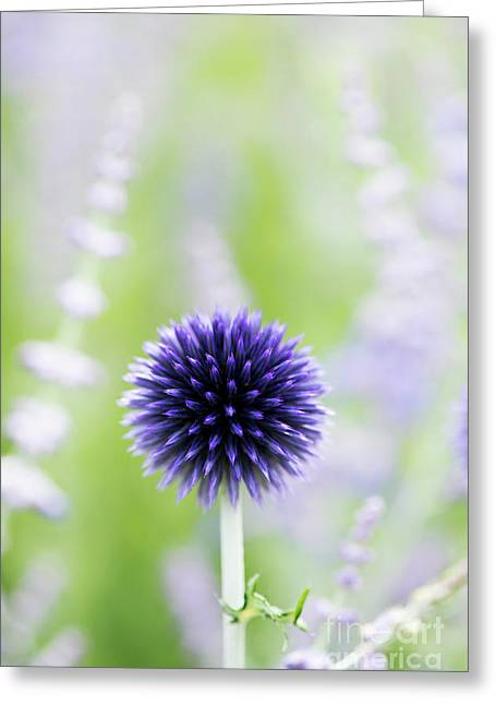 Delicate Globe Thistle  Greeting Card by Tim Gainey