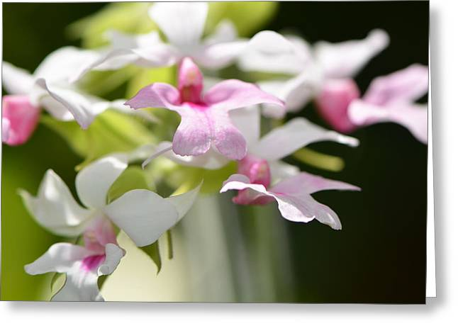 Delicate Orchids By Sharon Cummings Greeting Card by Sharon Cummings