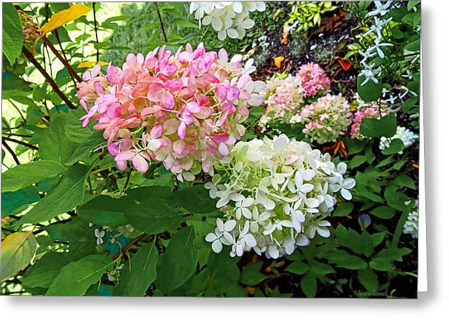 Hydrangeas Greeting Cards - Delicate Pink and White Hydrangea Greeting Card by Susan Savad
