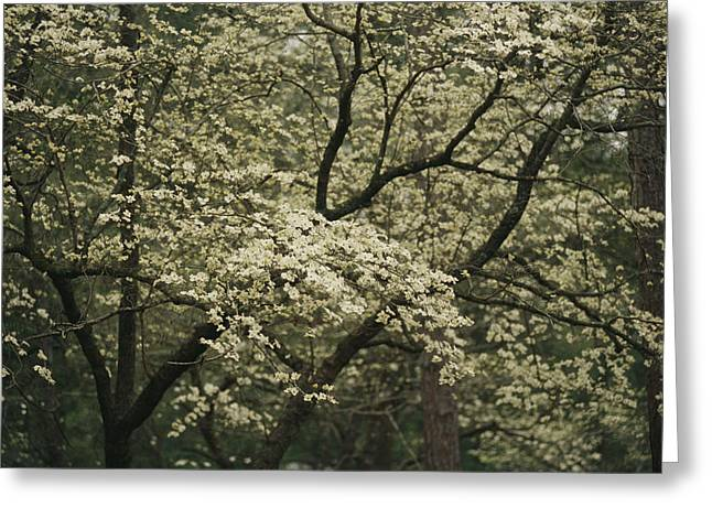 Forests And Forestry Greeting Cards - Delicate White Dogwood Blossoms Cover Greeting Card by Raymond Gehman