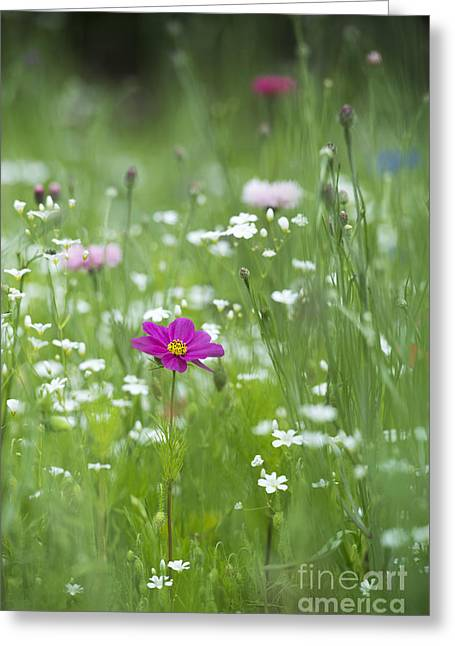 Aster Greeting Cards - Delicate Wildflower Meadow Greeting Card by Tim Gainey