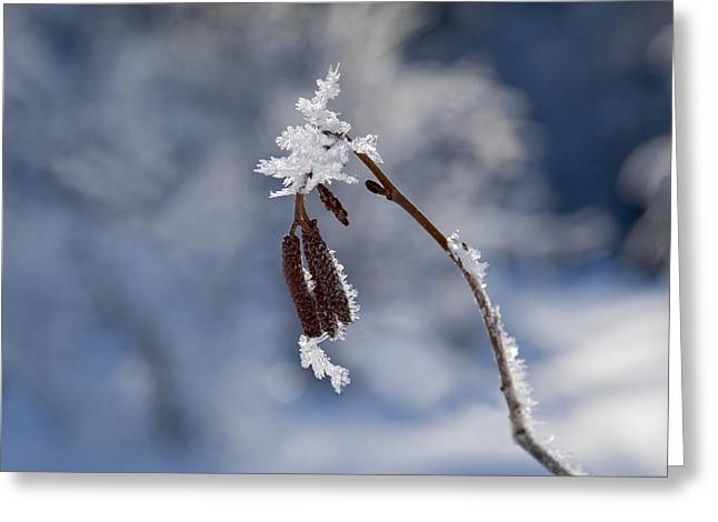 Frost Photographs Greeting Cards - Delicate Winter Greeting Card by Mike  Dawson