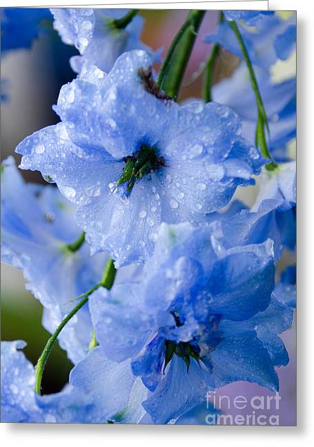 Delphinium Greeting Cards - Delphinium with Raindrops Greeting Card by Jennifer Booher