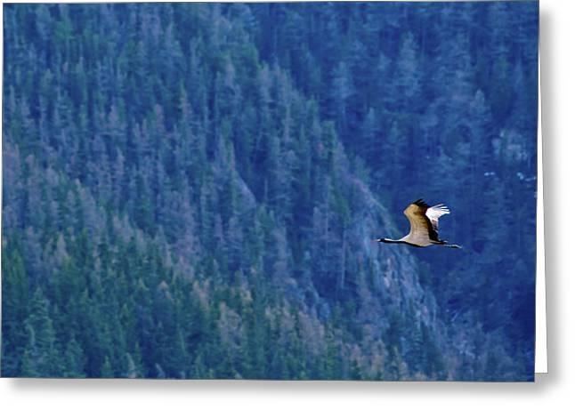 Demoiselle Crain - Anthropoides Virgo Flying On A Blue Forest Background Greeting Card by Oksana Ariksina