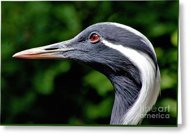 Demoiselles Greeting Cards - Demoiselle Crane Greeting Card by Patti Smith