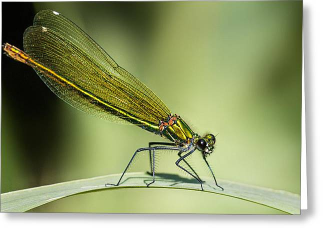 Demoiselles Greeting Cards - Demoiselle Greeting Card by Ian Hufton