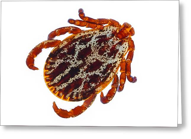 Canine Sculptures Greeting Cards - Dermacentor reticulatus tick  Greeting Card by Christoph Von Horst