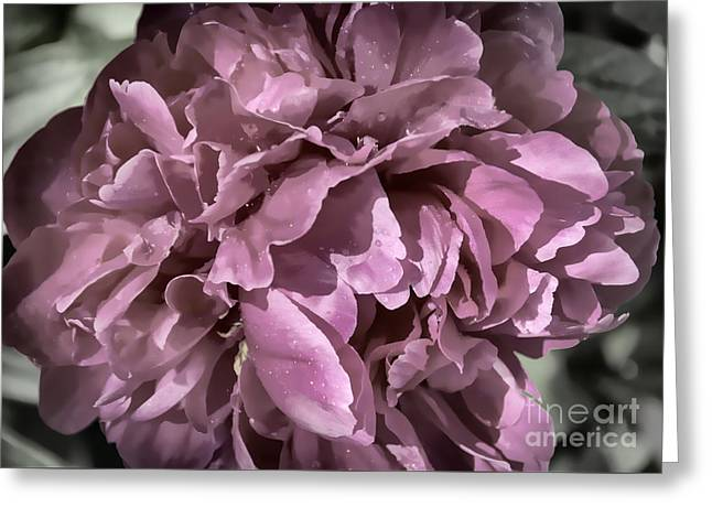 Close Focus Floral Greeting Cards - Desaturated Wet Pink Peony Greeting Card by Janice Rae Pariza