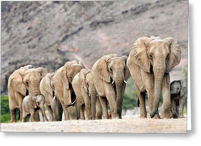 Animal Behaviour Greeting Cards - Desert-adapted Elephants Greeting Card by Tony Camacho