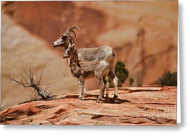 Bale Greeting Cards - Desert Bighorn Sheep Greeting Card by Robert Bales