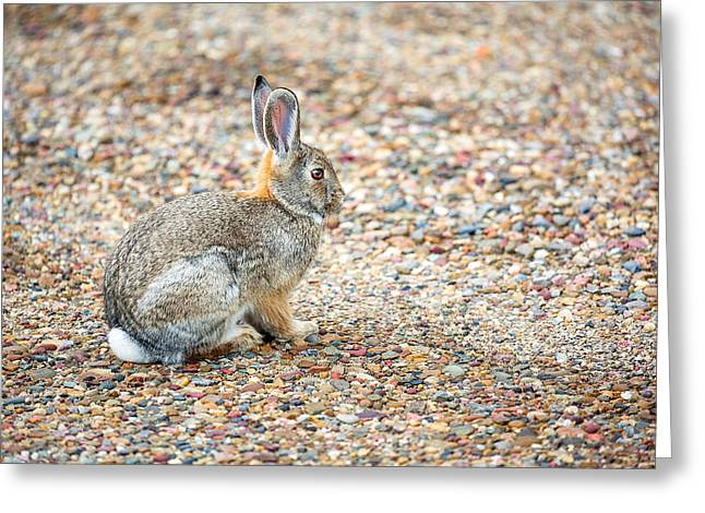 Desert Cottontail Greeting Card by Todd Klassy