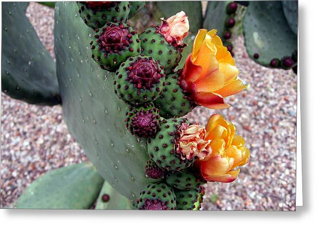 Cactus Flowers Greeting Cards - Desert Flowers Greeting Card by Harvie Brown