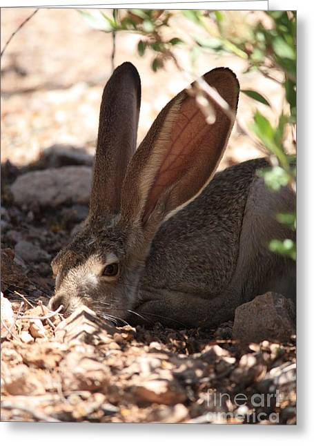 Desert Jackrabbit Greeting Card by Carol Groenen