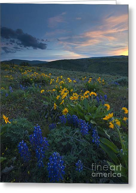 Desert Wildflower Sunset Greeting Card by Mike Dawson