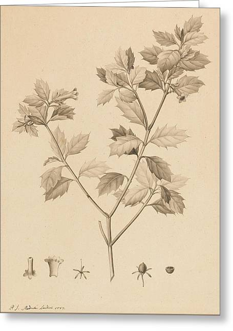 Seeds Drawings Greeting Cards - Desfonainia Spinosa Greeting Card by Pierre Joseph Redoute