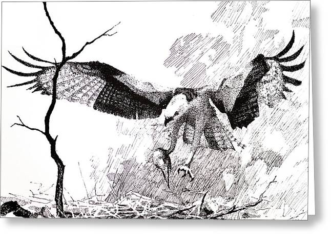 Osprey Drawings Greeting Cards - Detail from Osprey Greeting Card by Paul Illian
