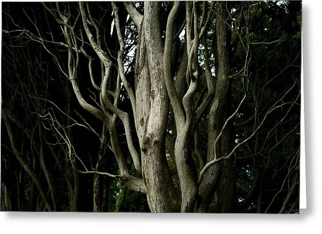Detailed View Of The Branches Of A Tree Greeting Card by Todd Gipstein