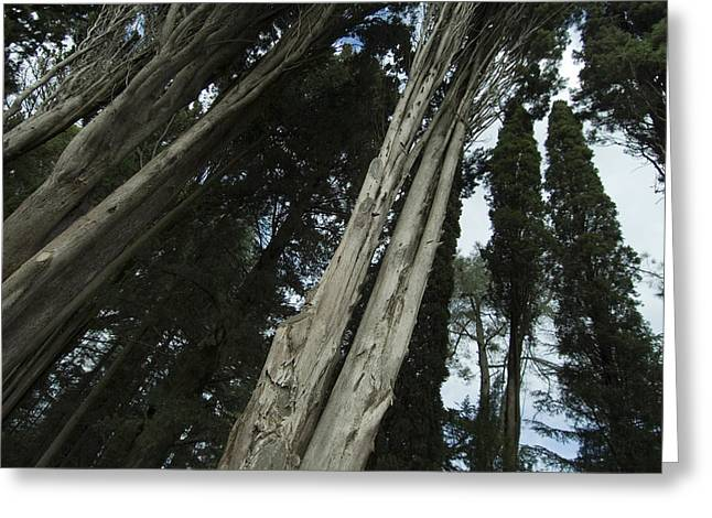 Chianti Greeting Cards - Detailed View Of The Trunks Of Italian Greeting Card by Todd Gipstein