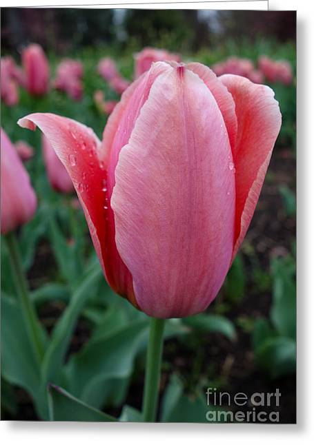 Power Plants Greeting Cards - Dewy Tulip Greeting Card by Jacqueline Athmann