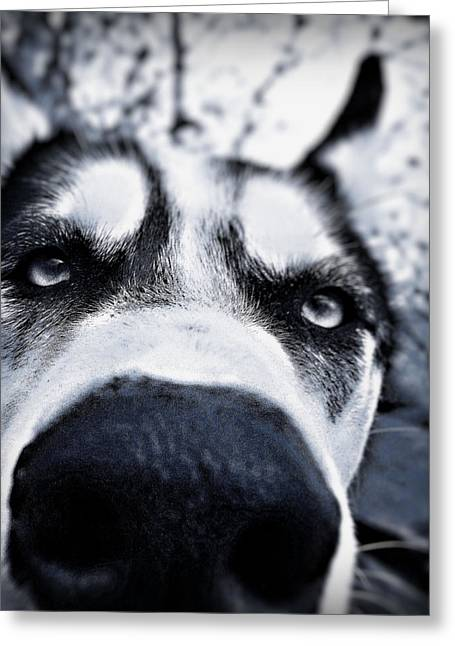 Husky Greeting Cards - Diabolical Damien  Greeting Card by Celestial  Blue