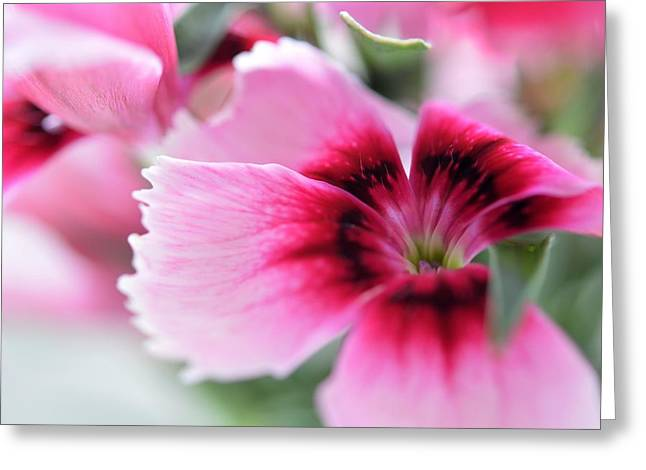 Nature Greeting Cards - Dianthus Greeting Card by Karen Pezzimenti