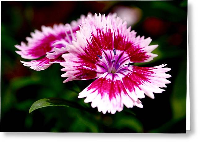 White Floral Greeting Cards - Dianthus Greeting Card by Rona Black