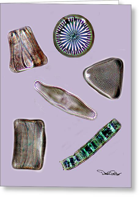 Plankton Greeting Cards - Diatoms Greeting Card by David Salter